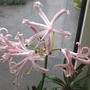 Nerine bowdenii - Best Ever.