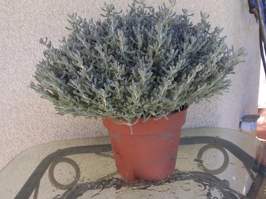 Santolina (Santolina chamaecyparissus)