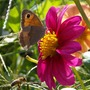 Dahlia with butterfly and bee