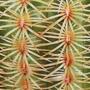 Echinocereus rigidissimus