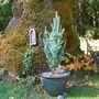 Picea pungens fastigiata (Picea pungens fastigiata)