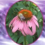 Purple Cone Flower and its Pollinator