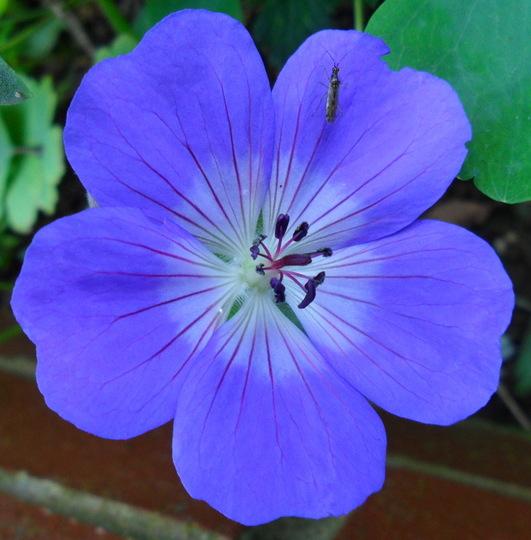Geranium 'Rozanne' (Geranium 'Rozanne')