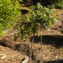 Azadirachta indica - Neem Tree (Azadirachta indica - Neem Tree)