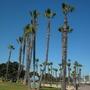 Washingtonia  robusta - Mexican Fan Palms Freshly Pruned (Washingtonia  robusta - Mexican Fan Palm)