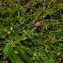 Impatiens niamniamensis and Salvia microphylla (Impatiens niamniamensis (Parrot Plant))