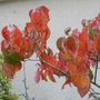 Fall colour of Cornus florida 'Cherokee Chief'  (Cornus florida 'Cherokee Chief')
