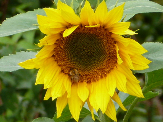 A late sunflower
