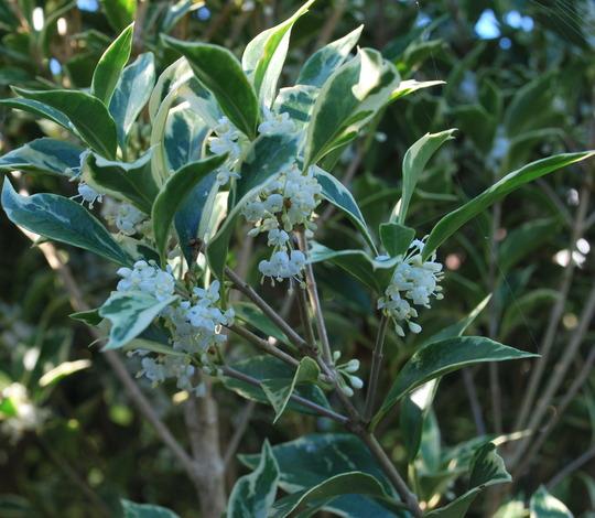 Osmanthus...... (Osmanthus heterophyllus (Chinese Holly))