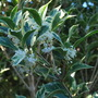 Osmanthus...... (Osmanthus heterophyllus (Chinese Holly))
