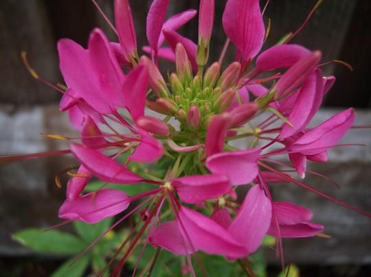 Cleome (Cleome hassleriana (Spider flower))