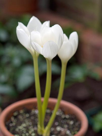 Colchicum speciosum album (Colchicum speciosum (Zimowit))