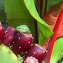 Opuntia ficus-indica (Barbary Fig)