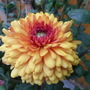 Chrysanthemum Bronze Dee