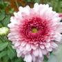 Chrysanthemum Pink Dee