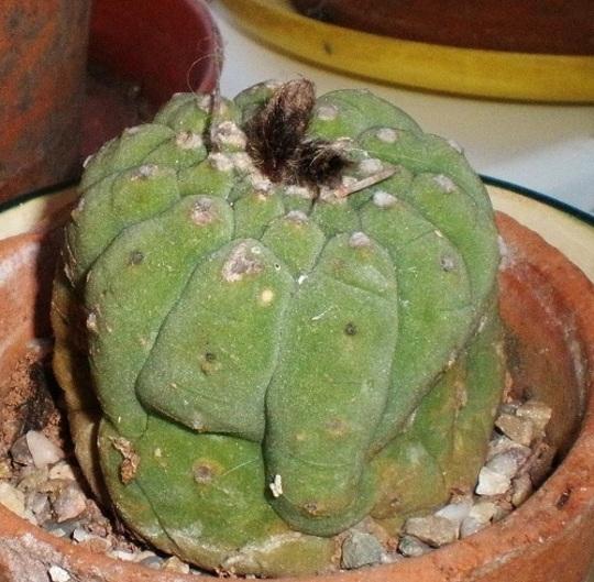 Matucana madisonorium