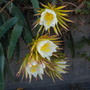 Hylocereus undatus - Dragon Fruit (Hylocereus undatus - Dragon Fruit)