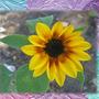 Little Sunflower