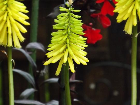 Kniphofia Bee's Lemon (Kniphofia)