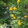Golden Trollius (Trollius chinensis)