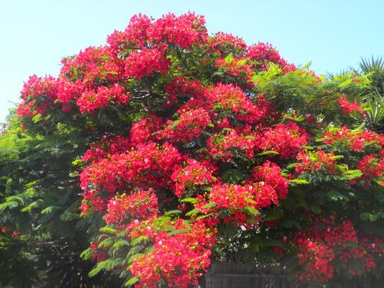 Delonix regia - Royal Poinciana, Flamboyant Tree (Delonix regia - Royal Poinciana, Flamboyant Tree)