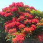 Delonix regia - Royal Poinciana, Flamboyant Tree