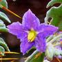 Solanum_pyracanthum_flower