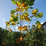 Tulip Tree against blue sky (Liriodendron.) (Liriodendron tulipifera (Tulip tree))