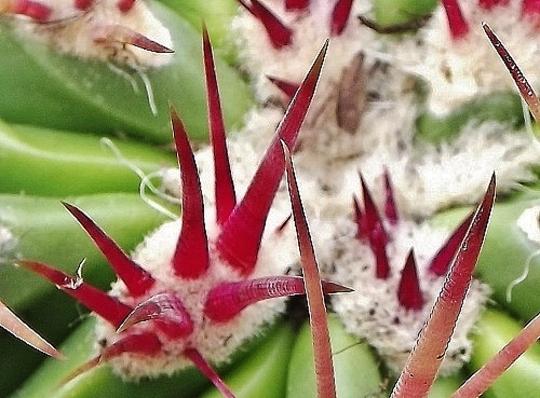 Ferocactus pilosus pringeli