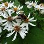 Hedychium_turks_cap_lily_004