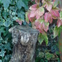 Two Ivies (Parthenocissus tricuspidata (Boston ivy))