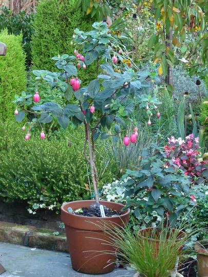 Fuchsia ~ Rocket Fire (Fuchsia)