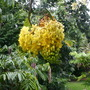 Cassia fistula - Indian Laburnum, Golden Shower Tree (Cassia fistula - Indian Laburnum, Golden Shower Tree)