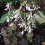 Saxifrage_flowering