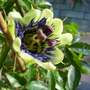 My Passion flower about to open again
