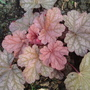 Heuchera 'Berrie Smoothie' (Heuchera)