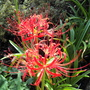 Red Spider Lily - last year's pic (Lycoris radiata (Higan Bana))