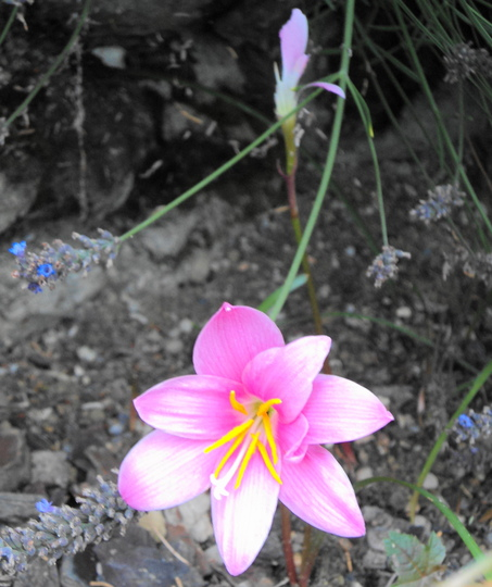 Rain lily  (Zephyranthes grandiflora)