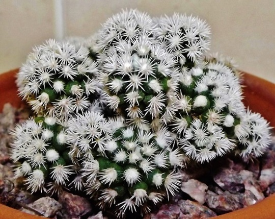 Mammillaria vetula Arizona Snowcap
