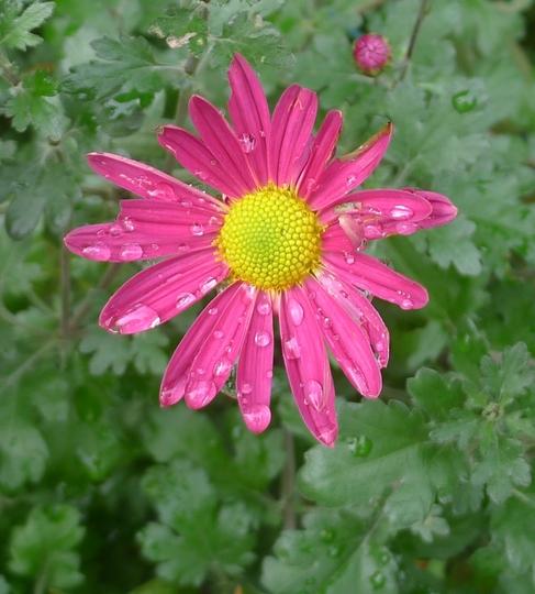 Chrysanthemum (pink) - 2013 (Chrysanthemum)