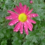 Chrysanthemum_pink_2013