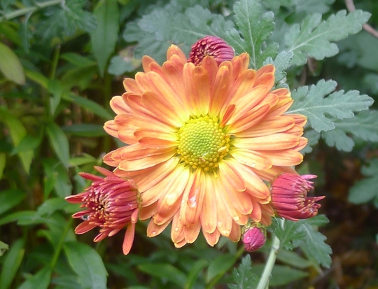 Chrysanthemum (orange) - 2013 (Chrysanthemum)