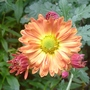 Chrysanthemum_orange_2013