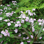 Mid-Spring in my N.E. Downunder Garden (Oct) - potted Impatiens walleriana blooming