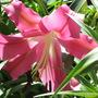 Mid-Spring in my N.E. Downunder Garden (Oct) - Oriental Lilium