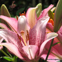 Mid-Spring in my N.E. Downunder Garden (Oct) - Asiatic Liliums
