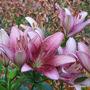 Mid-Spring in my N.E. Downunder Garden (Oct) - Asiatic Matisse Lilium