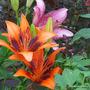 Mid-Spring in my N.E. Downunder Garden (Oct) - Asiatic Lilium