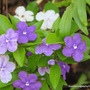 Mid-Spring in my N.E. Downunder Garden (Oct) - Brunfelsia or Yesterday, Today and Tomorrow Shrub