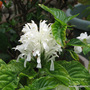 Mid-Spring in my N.E. Downunder Garden (Oct) - Justicia carnea